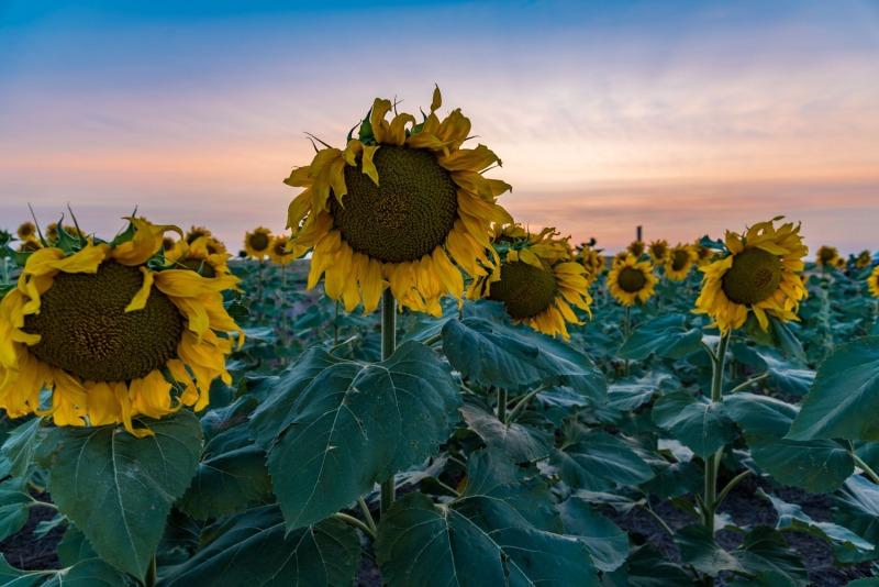 Colorado - Sunflowers - DIA