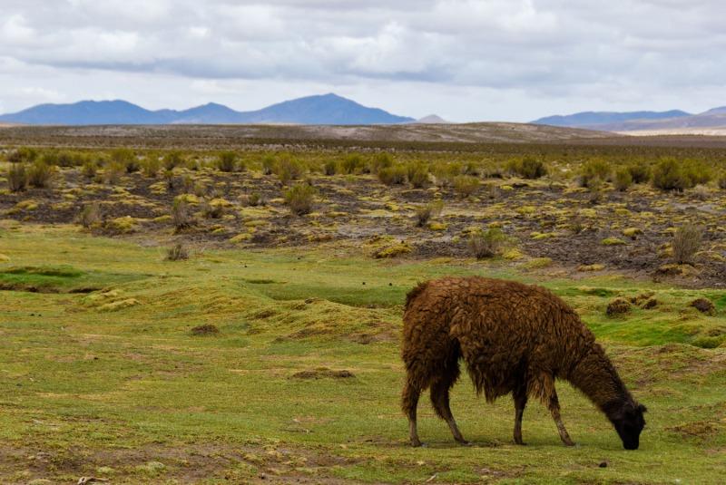 Bolivia - lamas