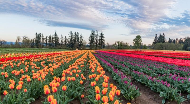 Oregon - Sunset Woodburn Tulip Festival