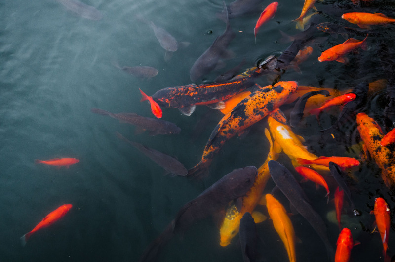Colorado - Koi Pond