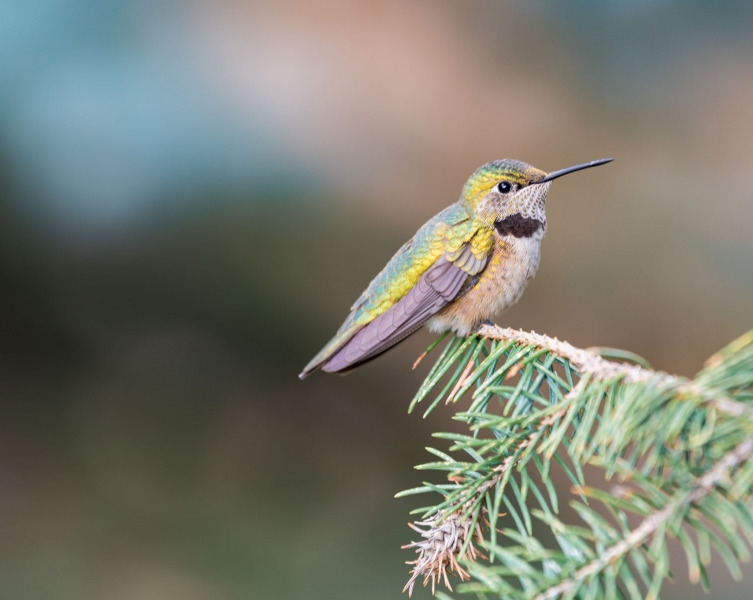 Colorado - Hummingbird