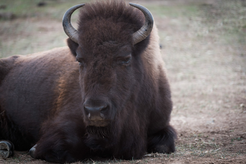Colorado - bison