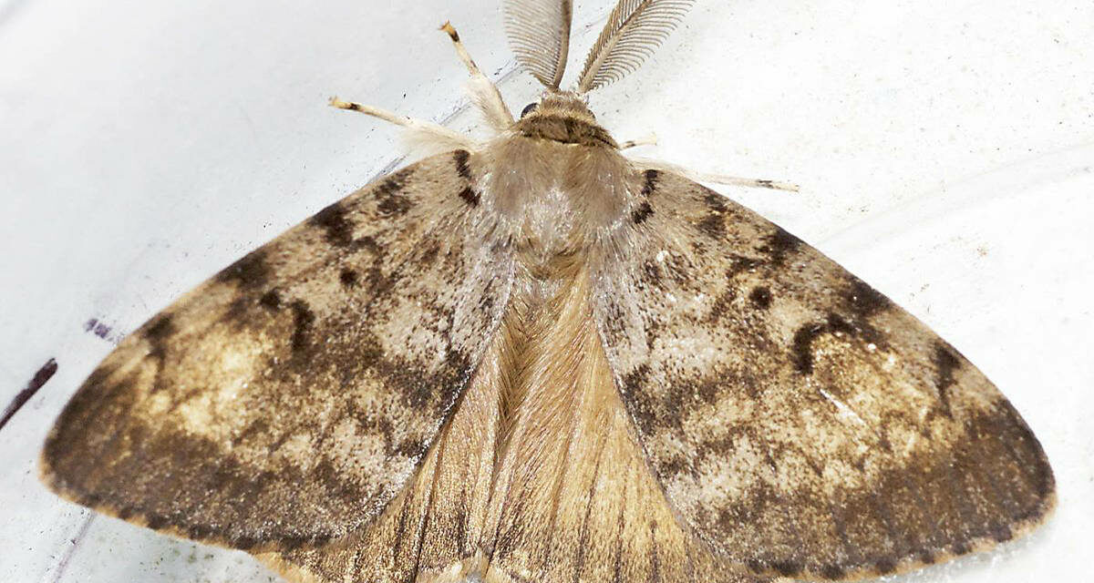 State Hosting Gypsy Moth Treatment Open Houses