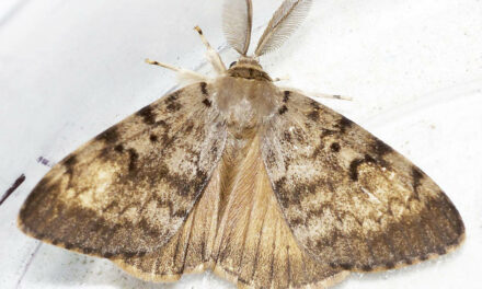 Aerial Spraying Planned to Prevent Gypsy Moth Problem at Lake Cowichan