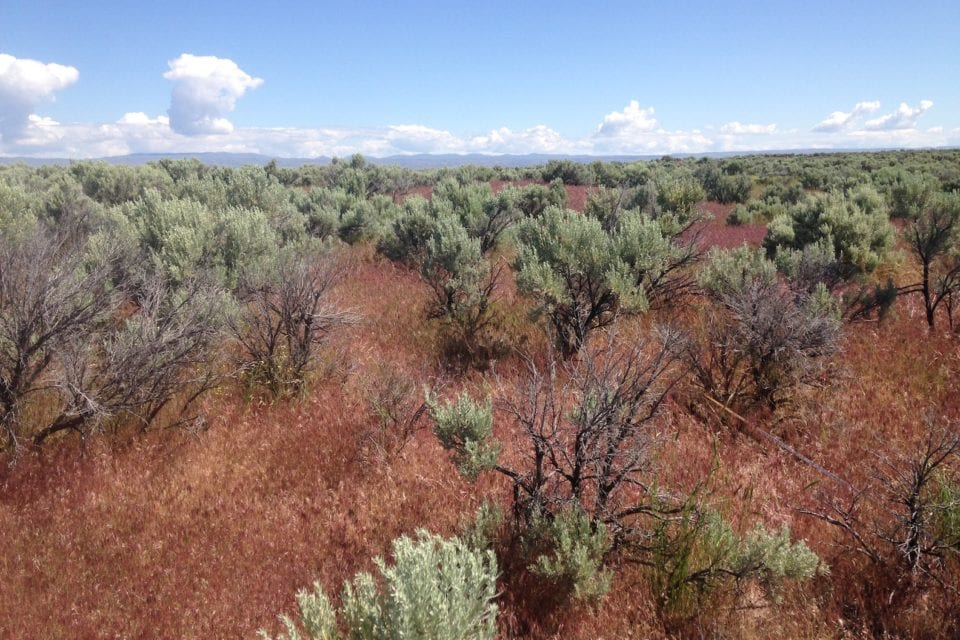 Weed & Pest will fight cheatgrass next month
