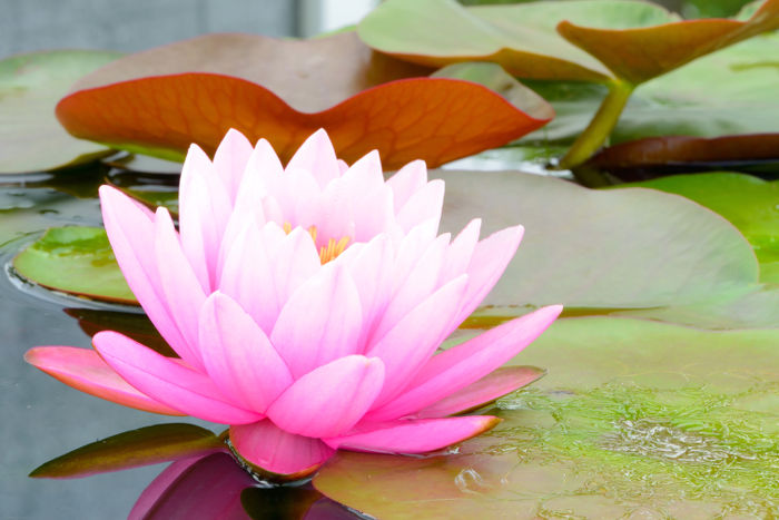 pink lotus flower on river in thailand