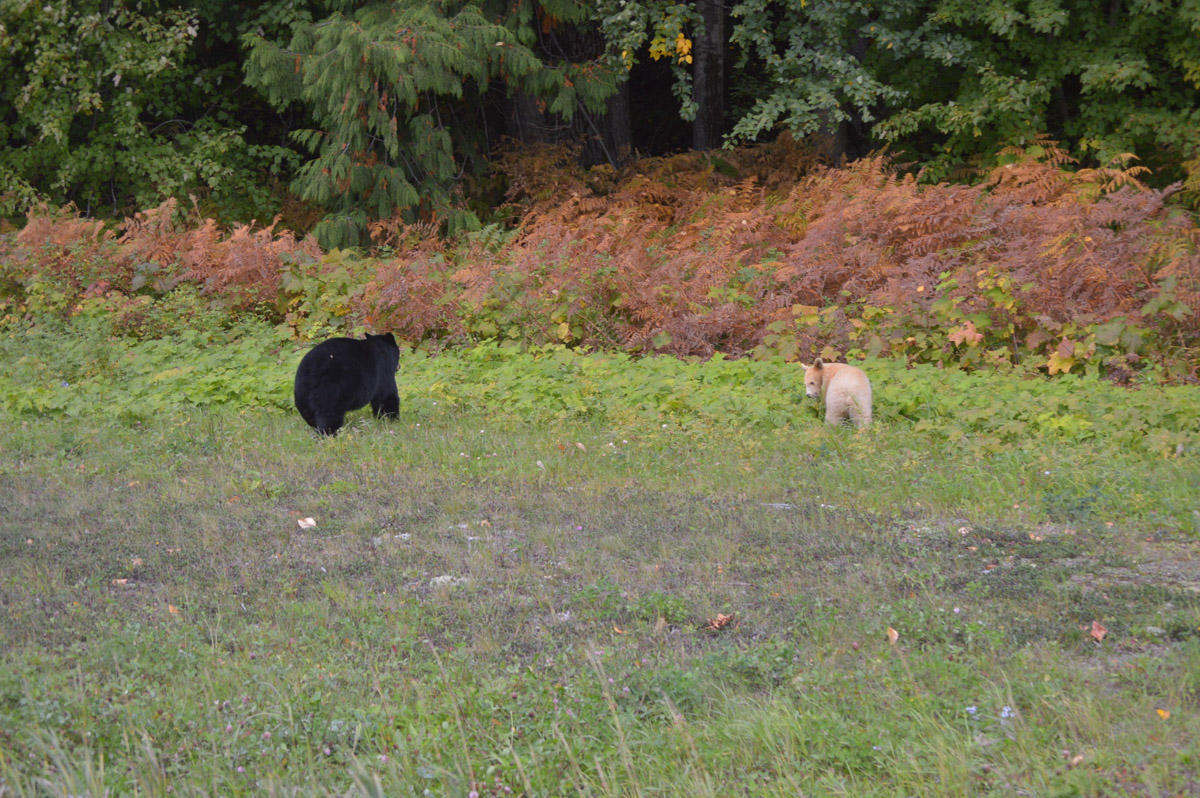 Kermode and Black Bear - Terrace BC