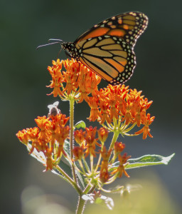 Monarch butterfly and butterflyweed