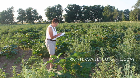 Pollination biologist Sue Willis Chan monitors squash bee activity.