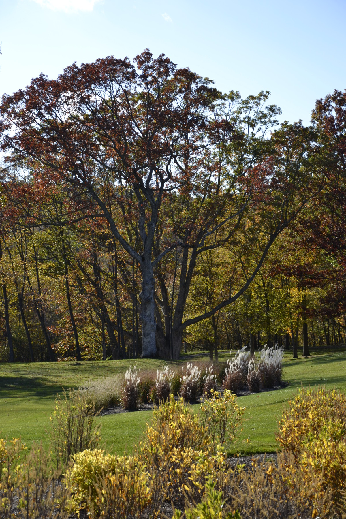 Highlighted Red Oak w Miscanthus and Clethra in foreground