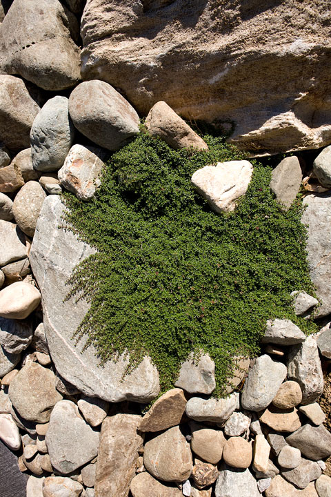 Rock-On-creeping-red-thyme-expanding-in-river-stones