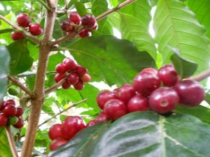 Ripe Coffee Cherries from Honduras- There are usually two green coffee beans in each cherry