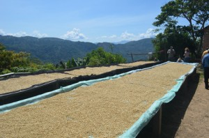 Bolivia La Paz: Coffee Drying on raised beds
