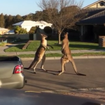 This Is Unusual…Two Wild Kangaroos Fighting In the Middle Of The Street.