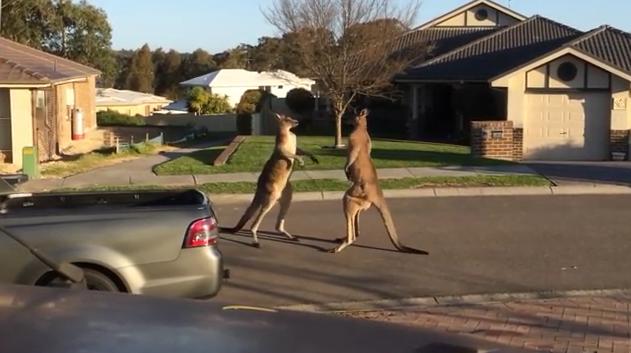 Wild Kangaroos Fighting In The Street
