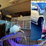 Woman Found Living With Over 300 Rats In Her Van!