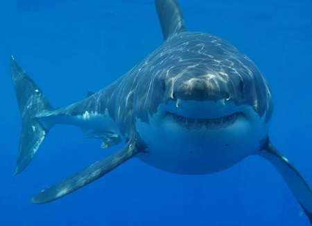 Nearly 500,000 sharks may have to die in the fight of Covid-19 to develop a vaccine.