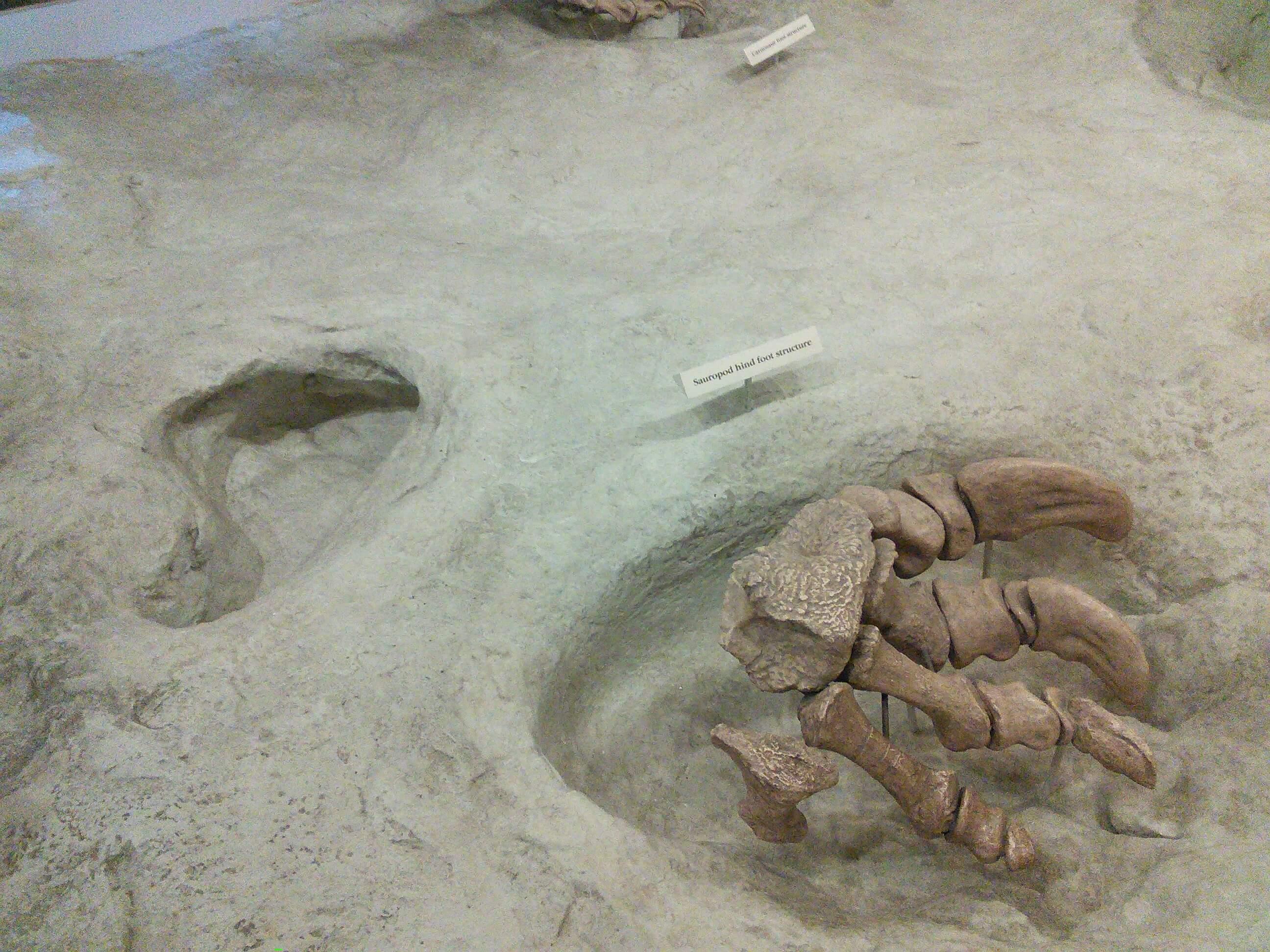 Sauropod Dinosaur Foot at Dinosaur Valley State Park, TX