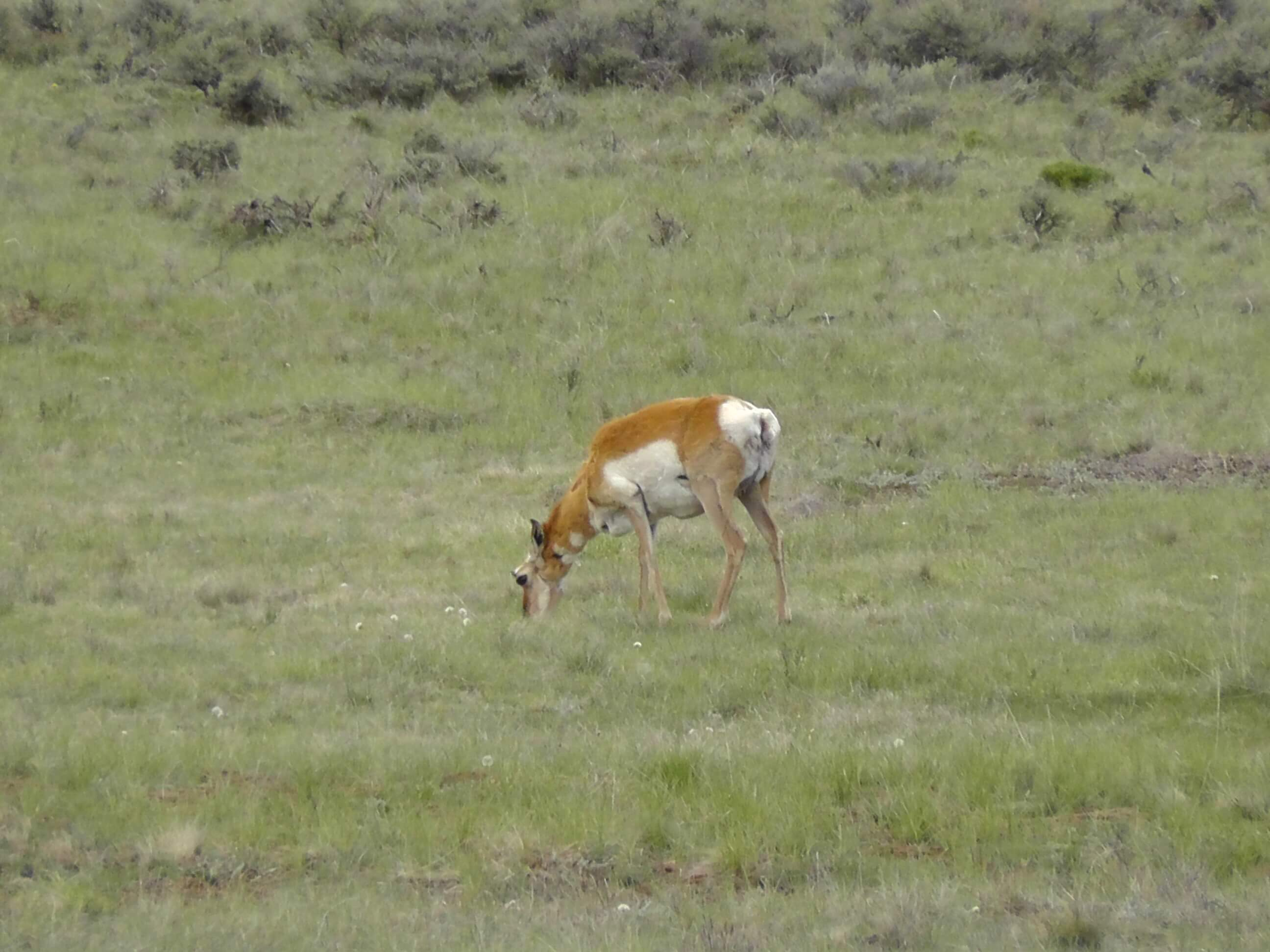 Pronghorn antelope in Bryce Canyon National Park, UT