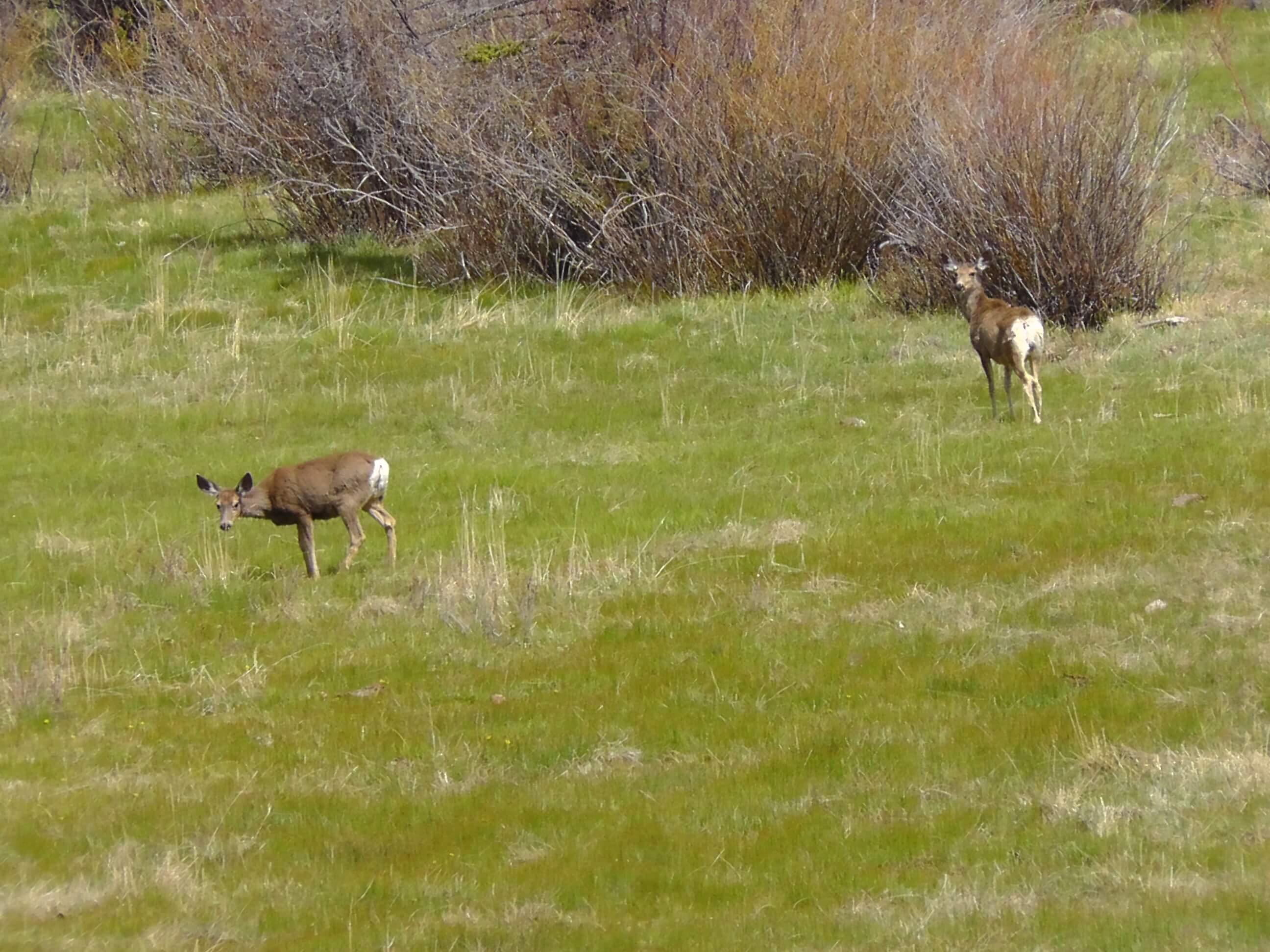 Mule deer at Capitol Reef National Park, Utah