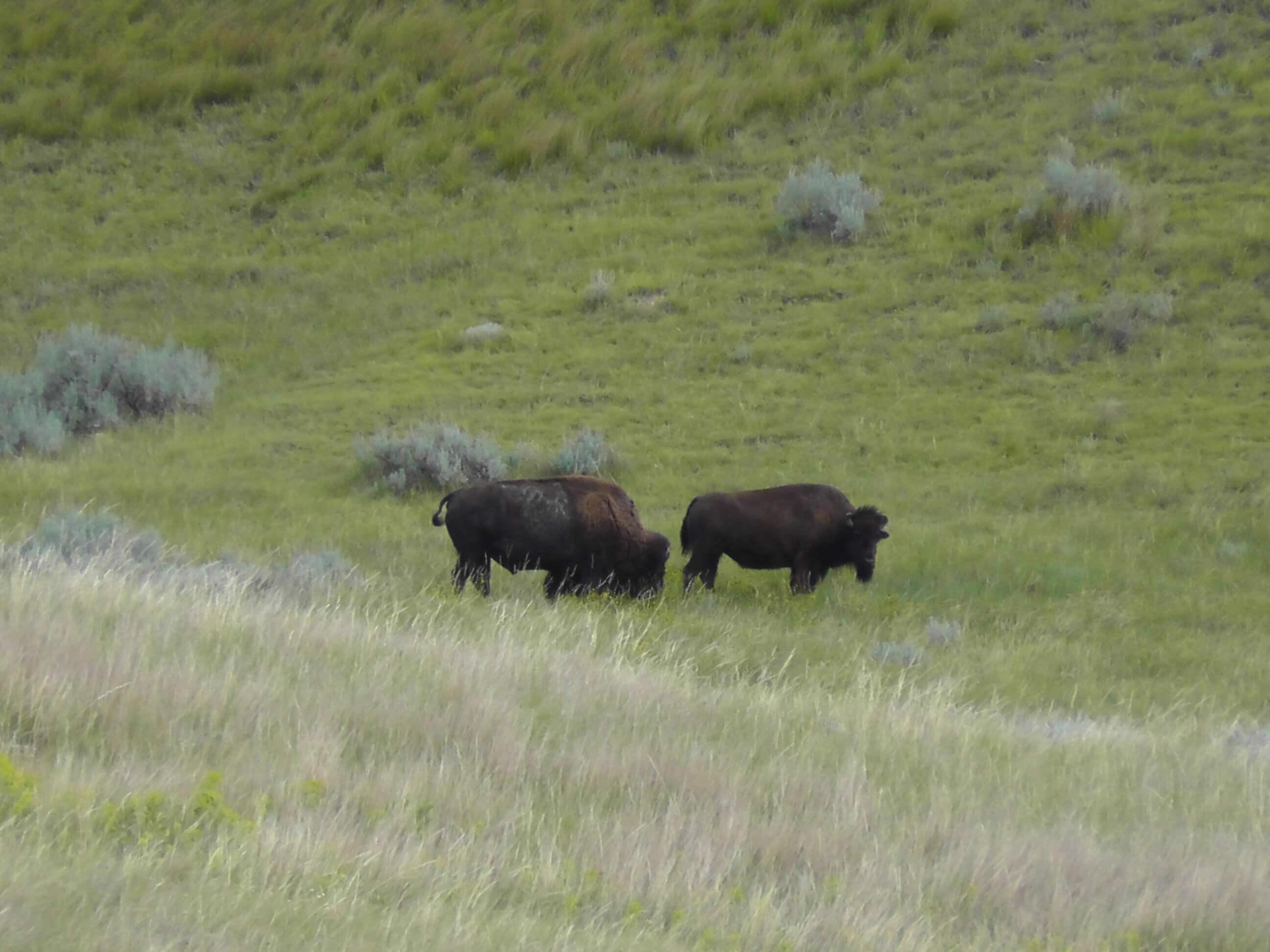 Bison, Theodore Roosevelt National Park, Medora, North Dakota