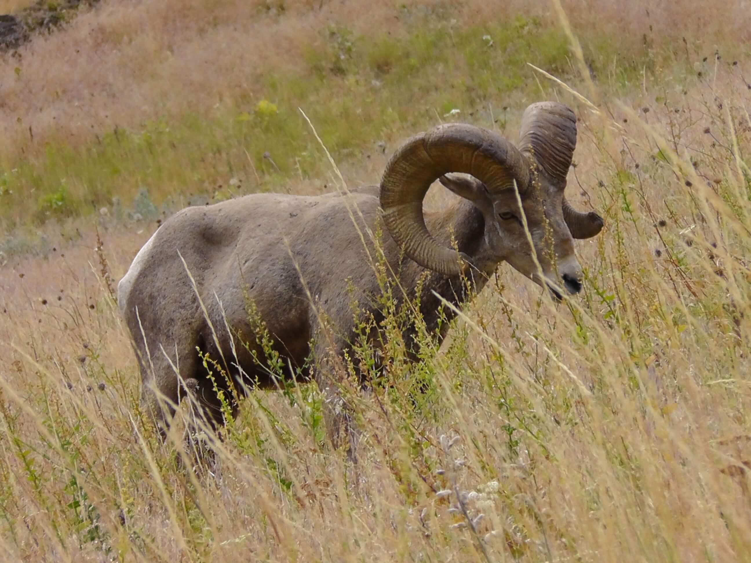 Bighorn Sheep, Bison National Range