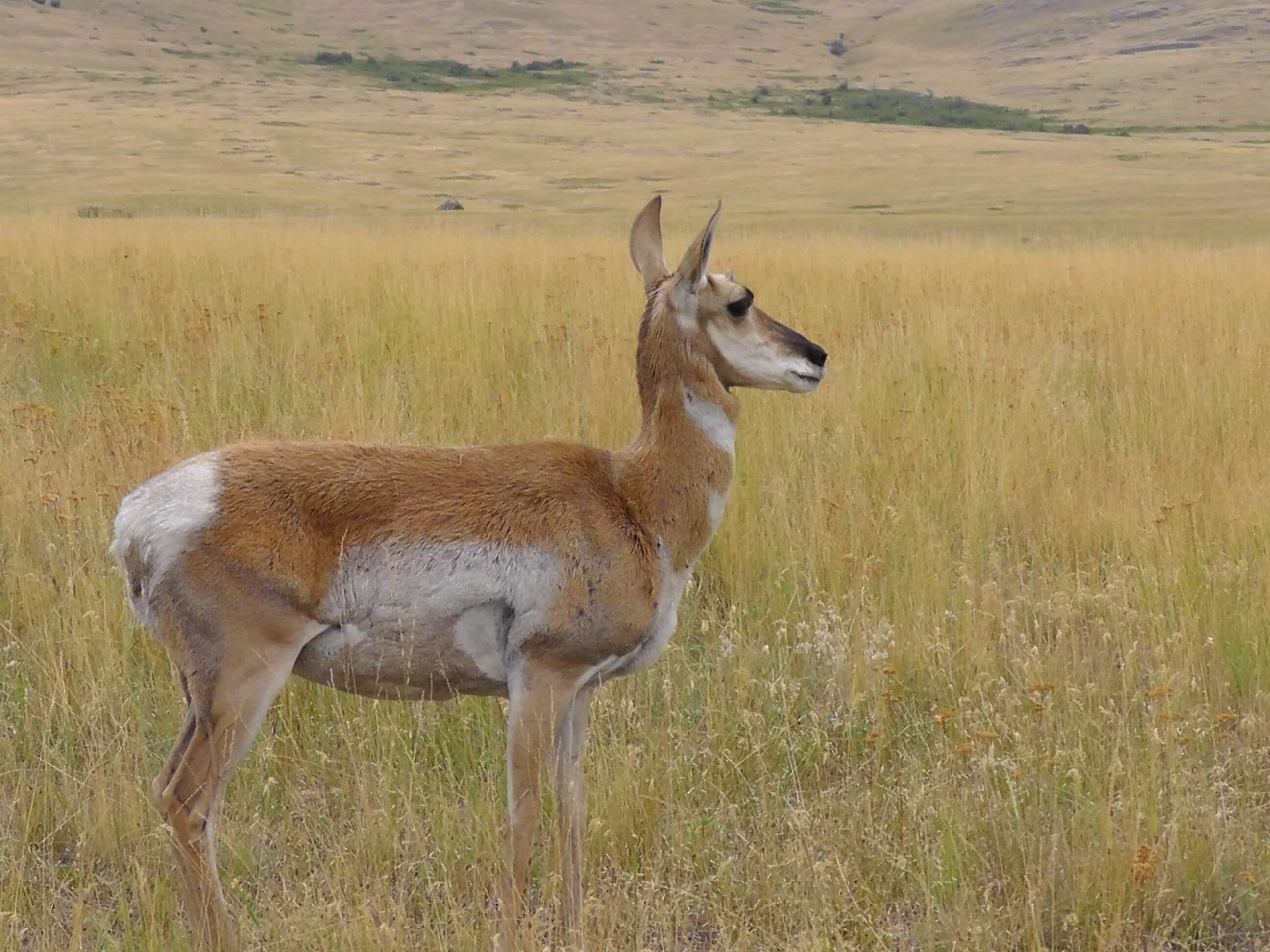 Pronghorn Antelope, Bison National Range