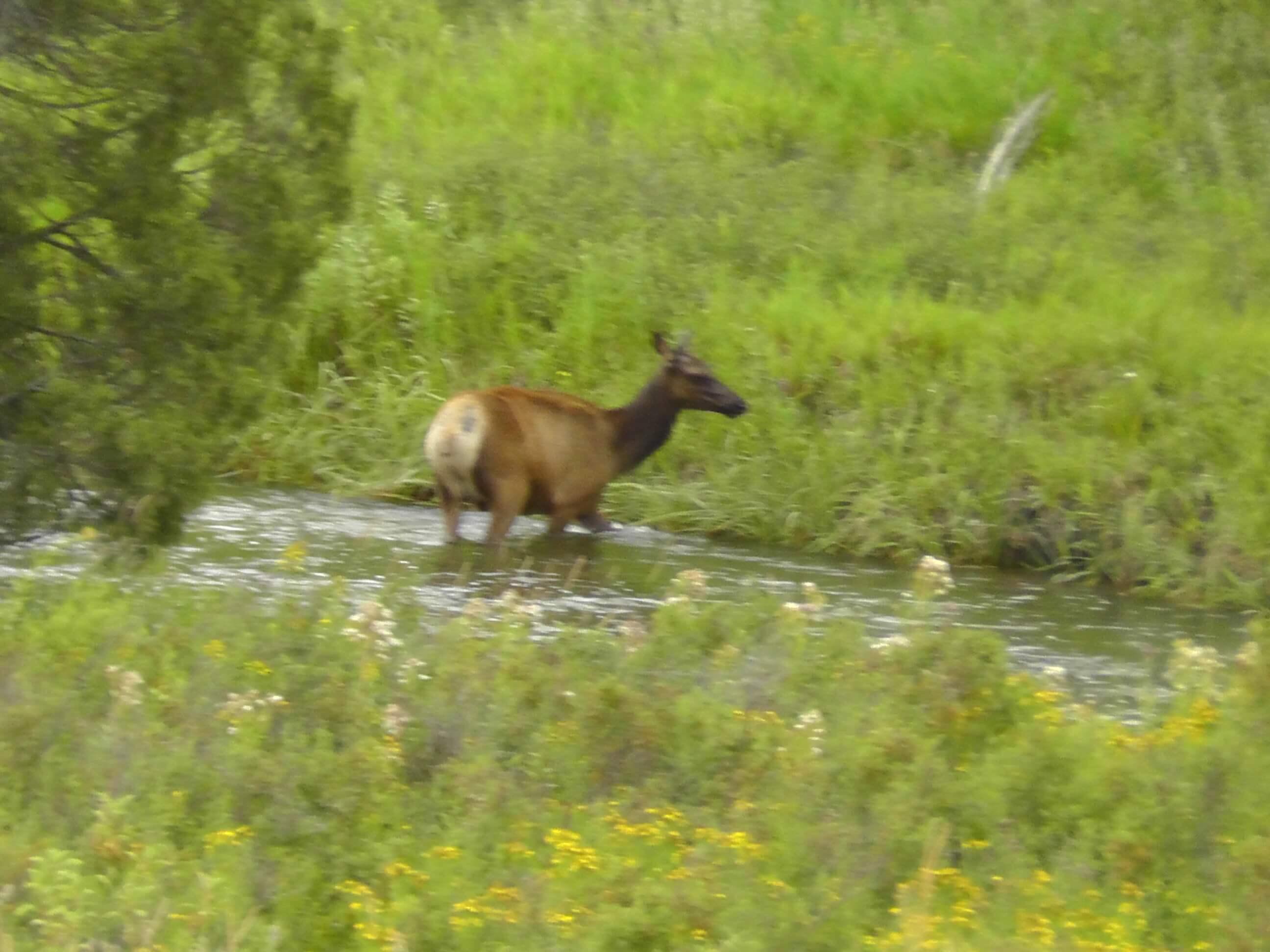 Elk, Bison National Range