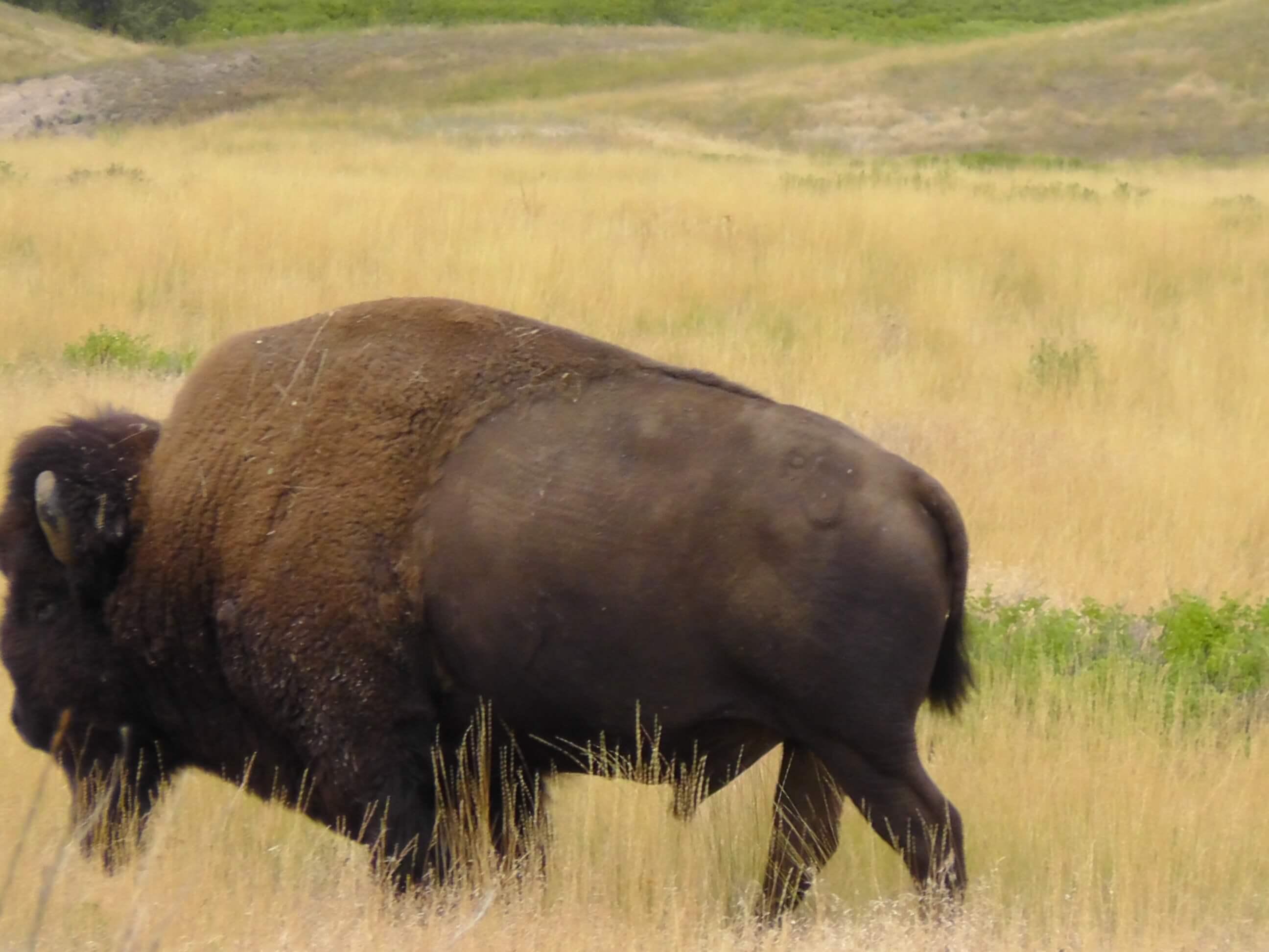 Bison, Bison National Range