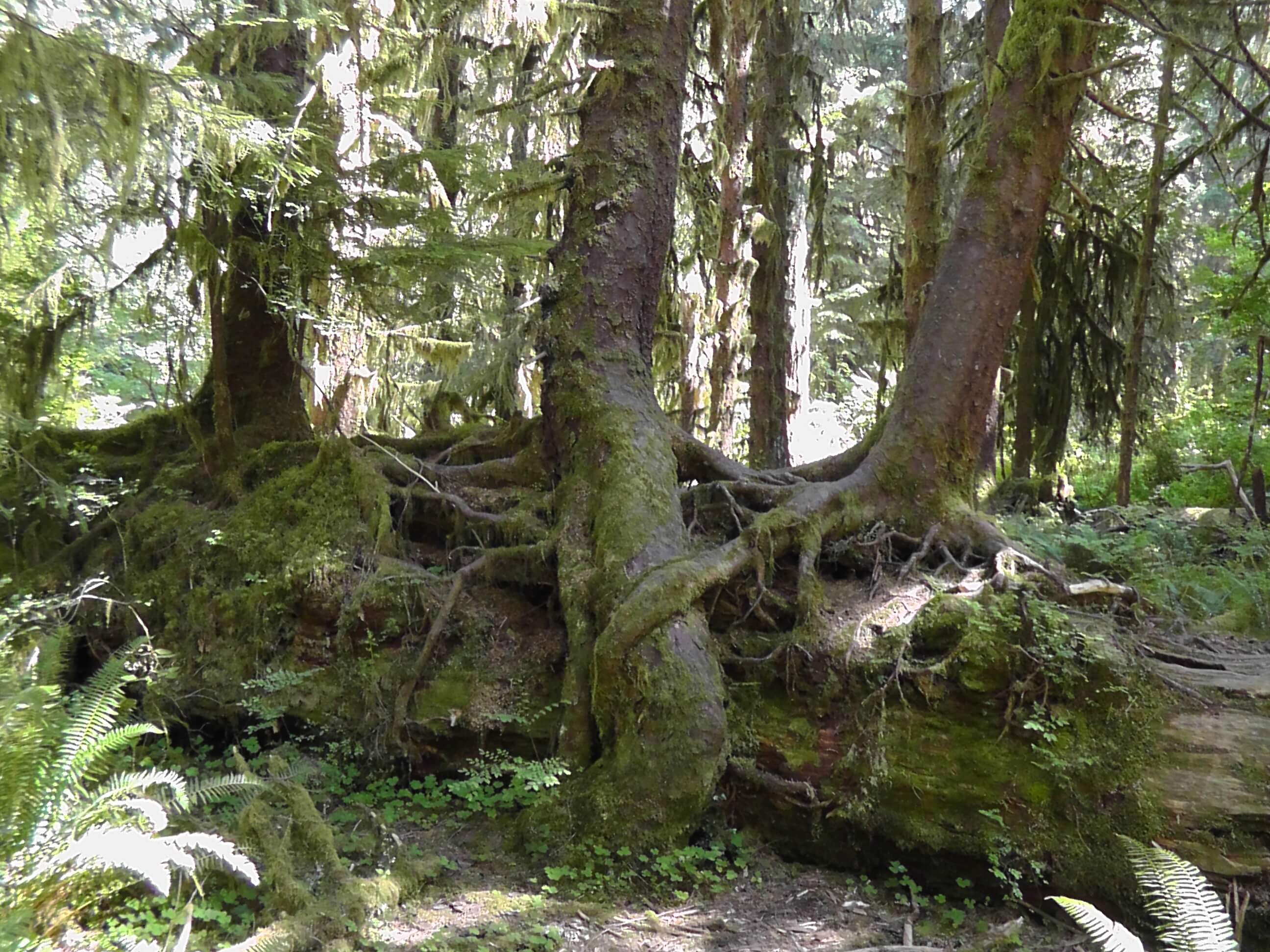 Collonade Trees, Hoh Rain Forest, Olympic National Park