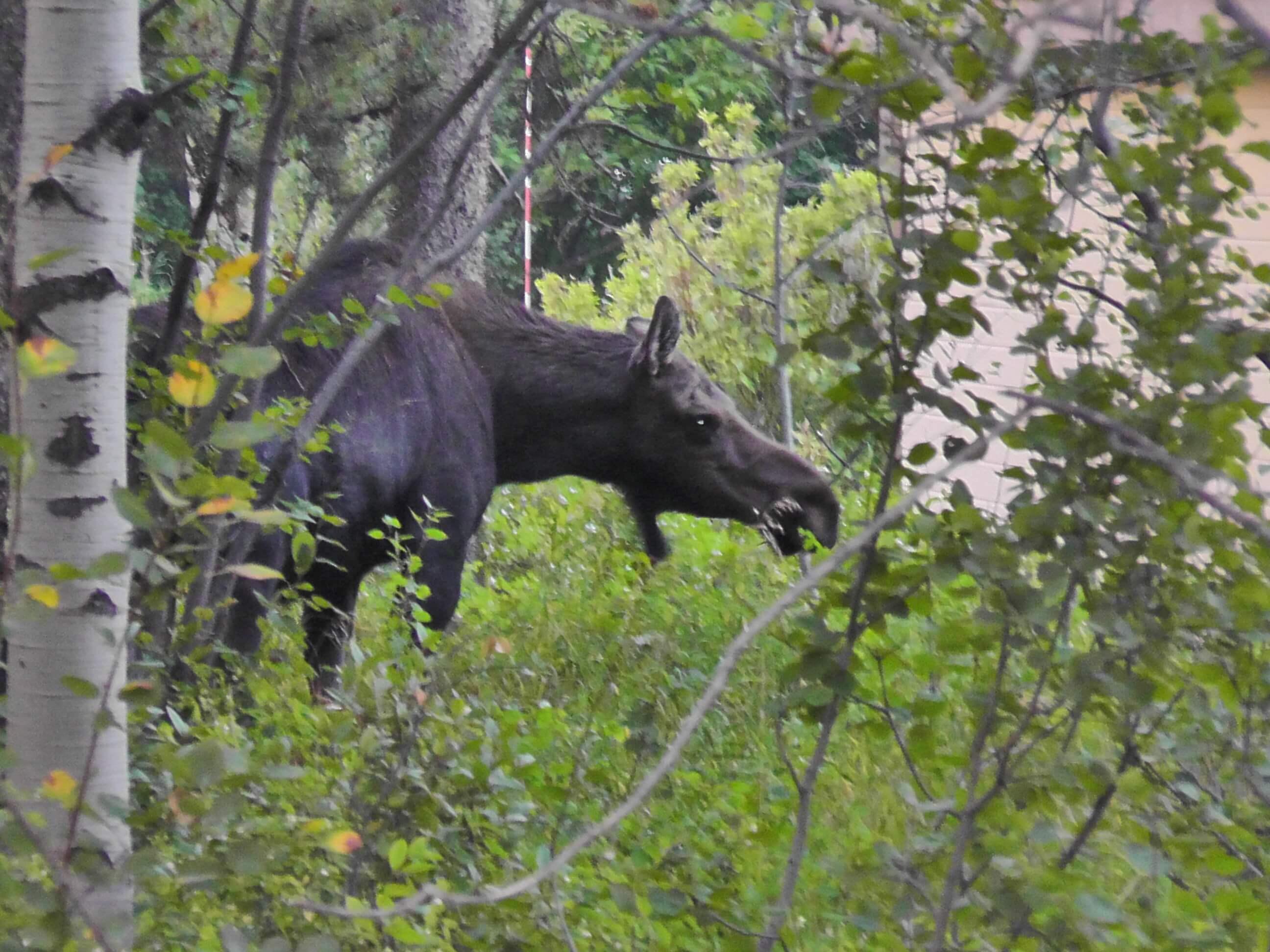 Moose, Wilson, Wyoming