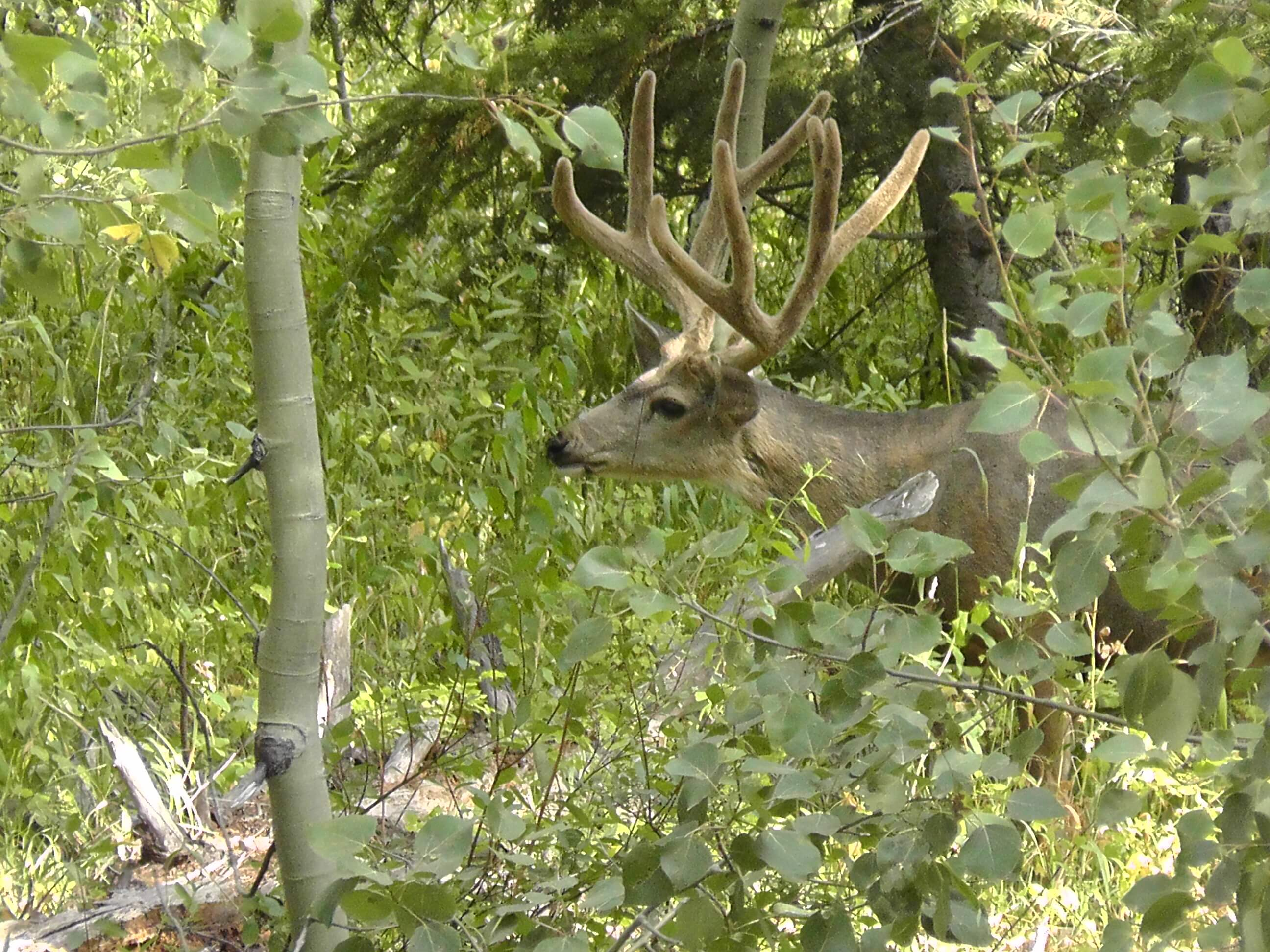 Mule Deer (buck), Grand Teton National Park