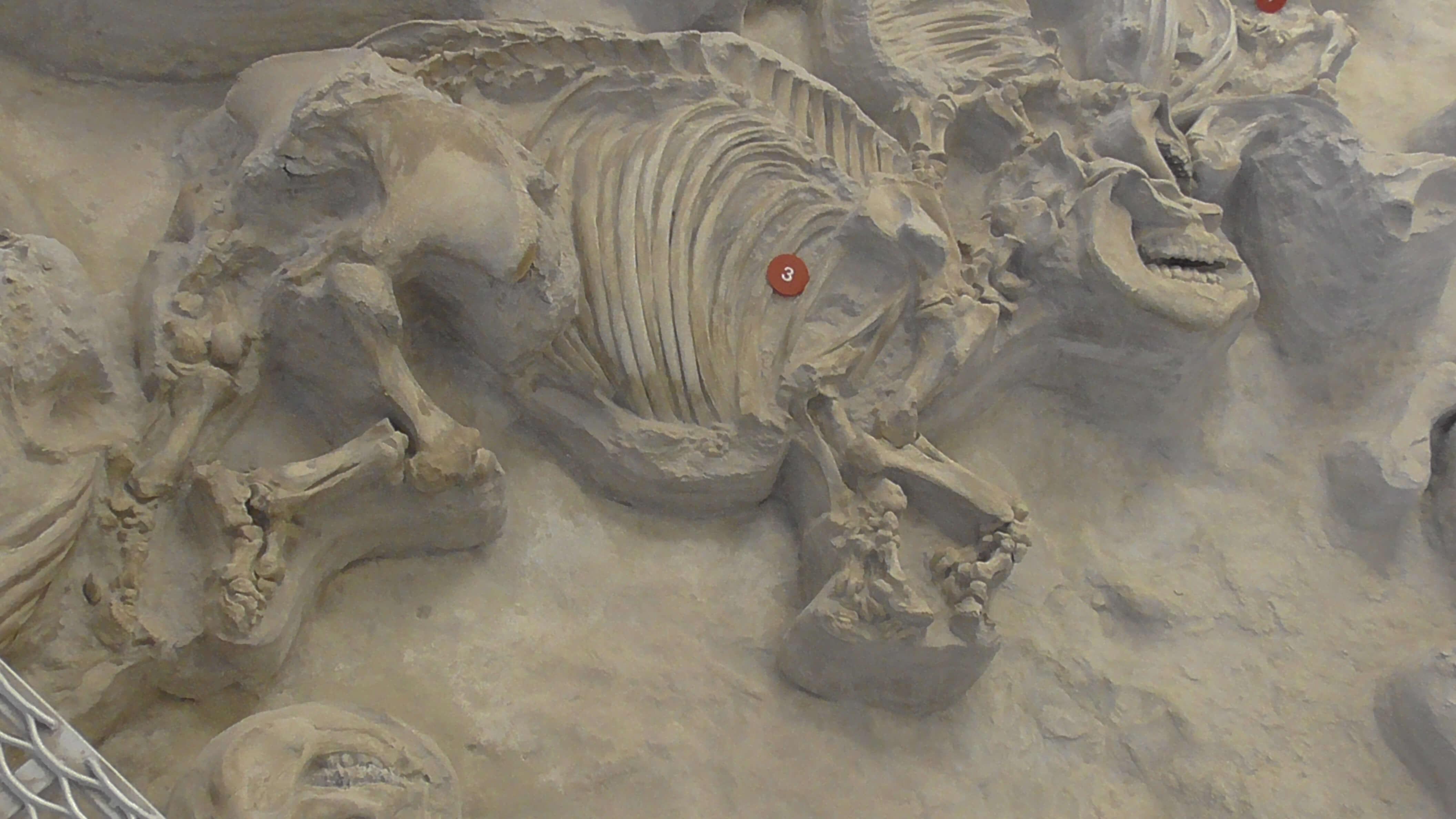 Barrel bodied Rhino skeleton