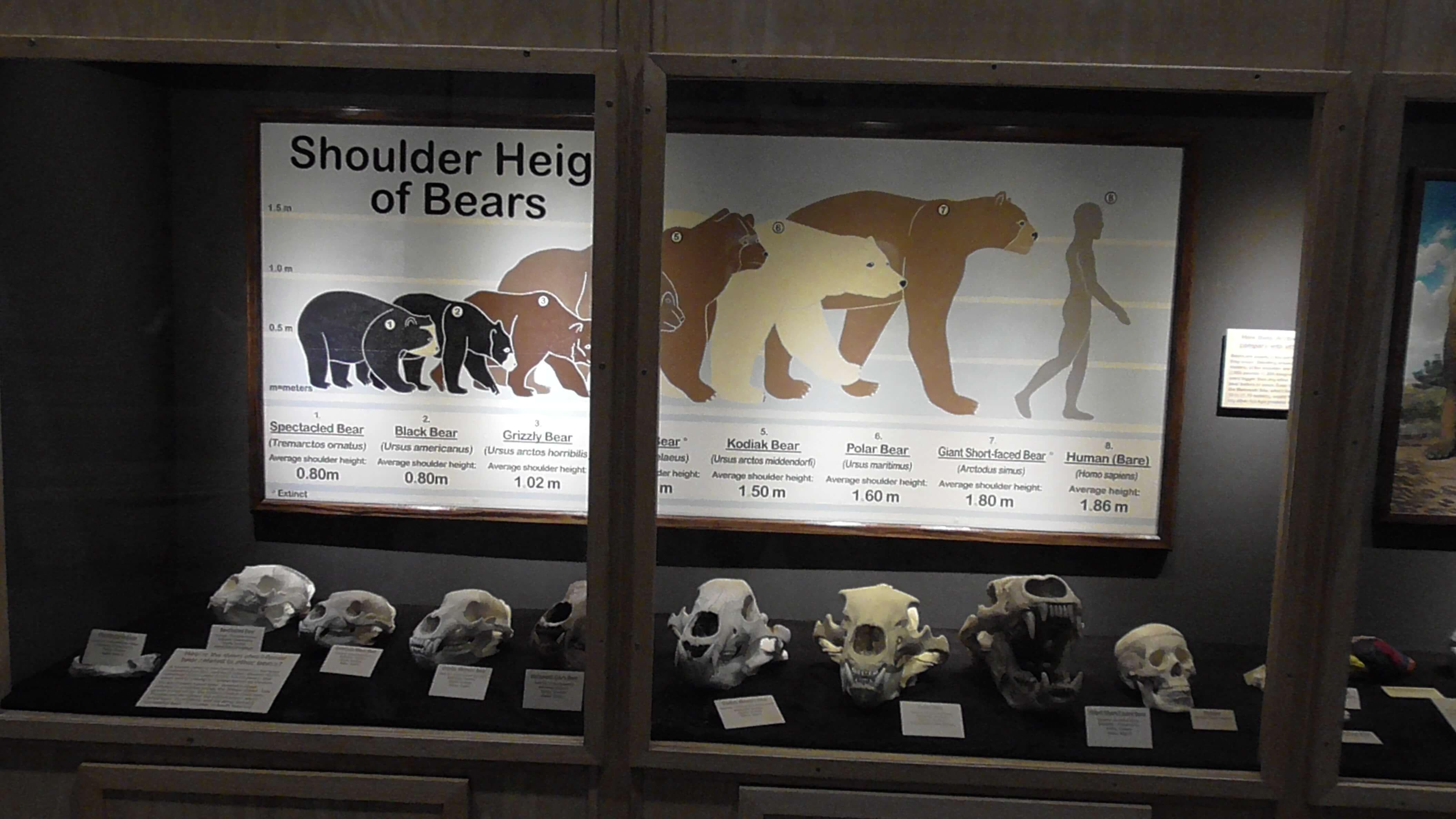 Comparison of Bear Sizes