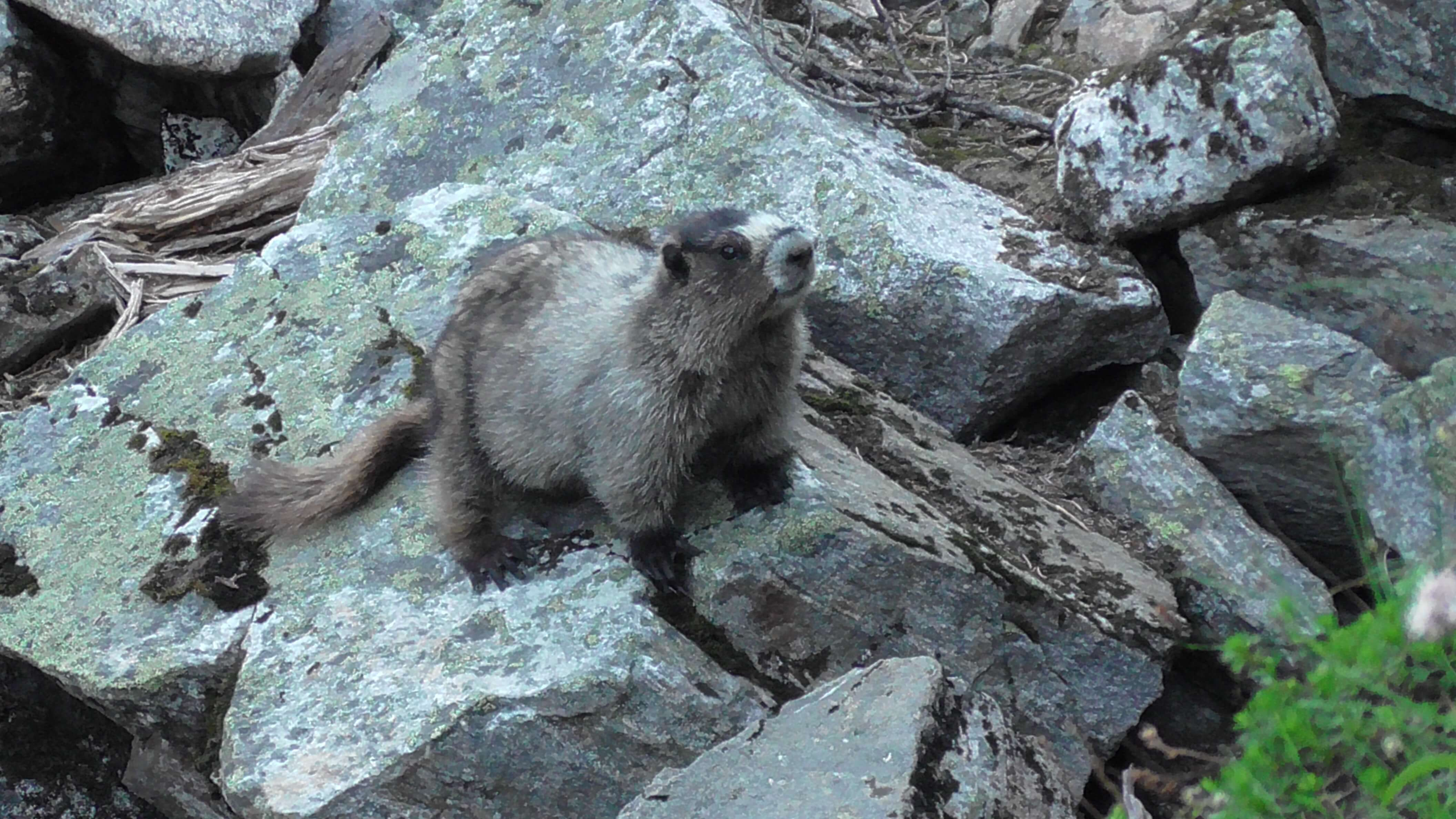 Marmot, Mount Revelstoke National Park, British Columbia
