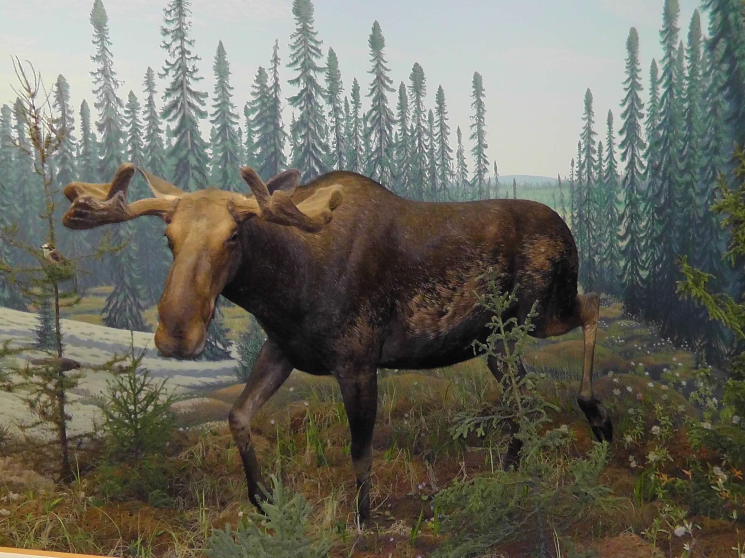 Moose, Royal Saskatchewan Museum, Regina, Saskatchewan