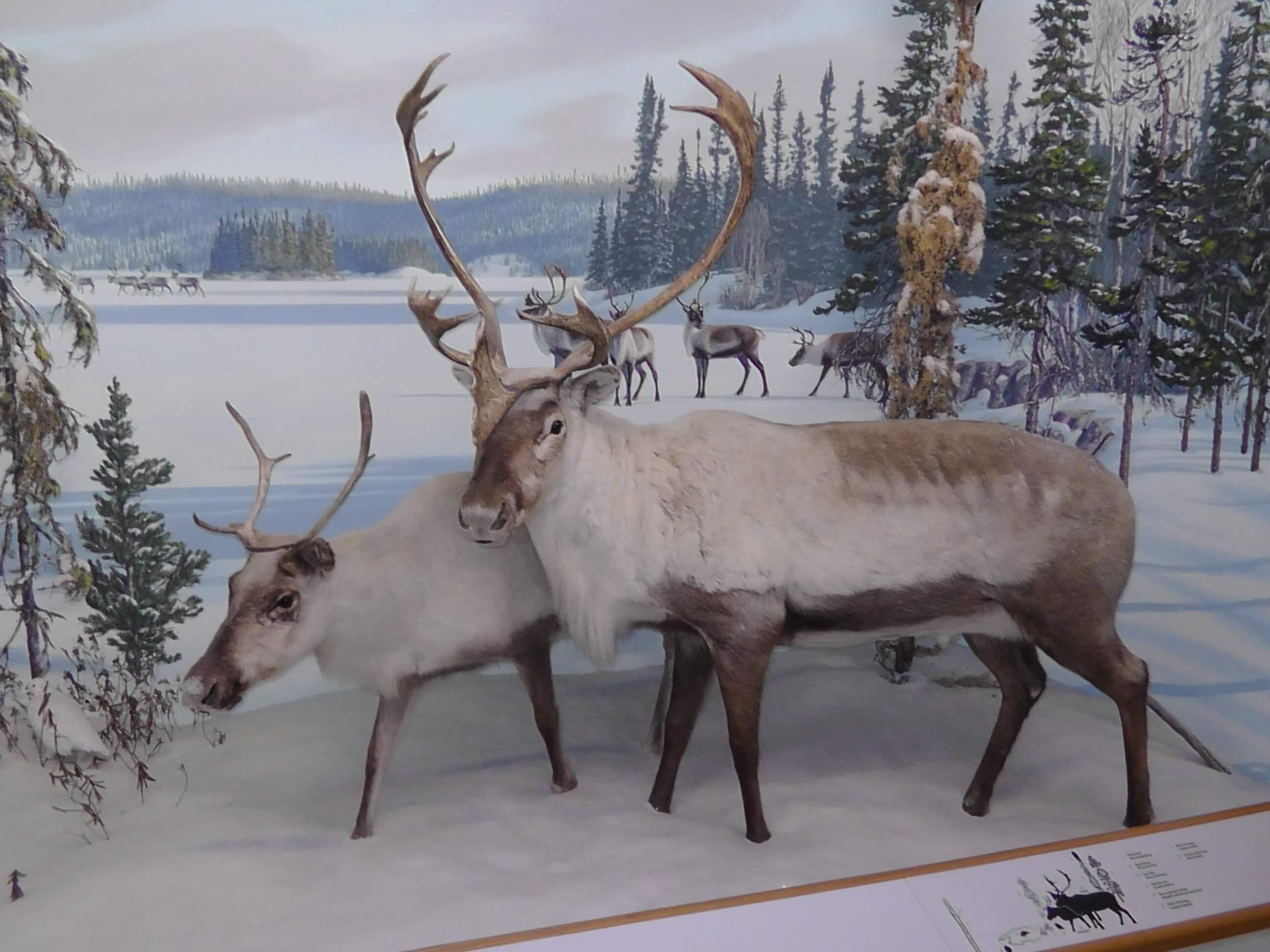Caribou, Royal Saskatchewan Museum, Regina, Saskatchewan