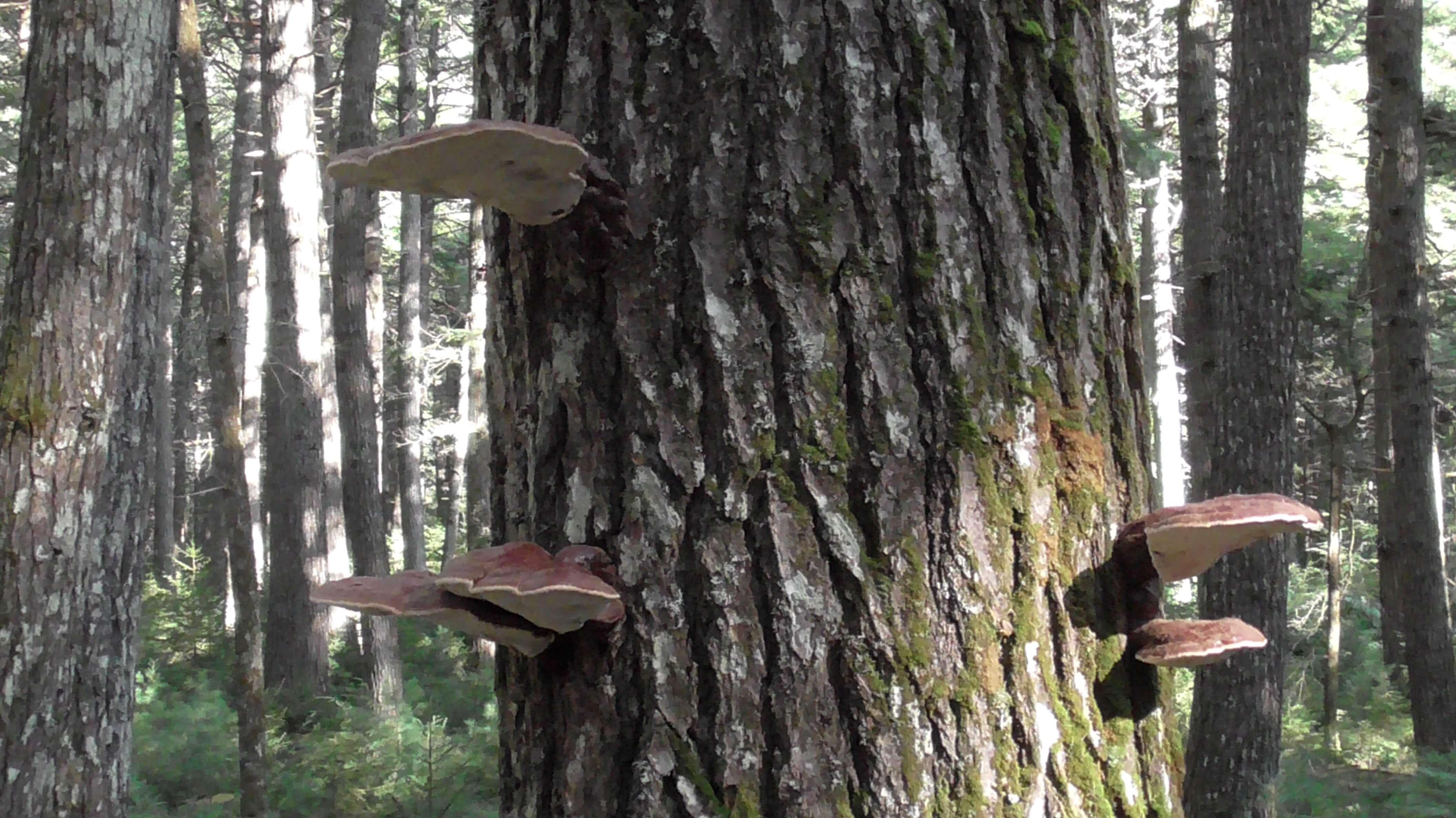 Old Growth Hemlock Forest, Kejimkujik National Park, Nova Scotia