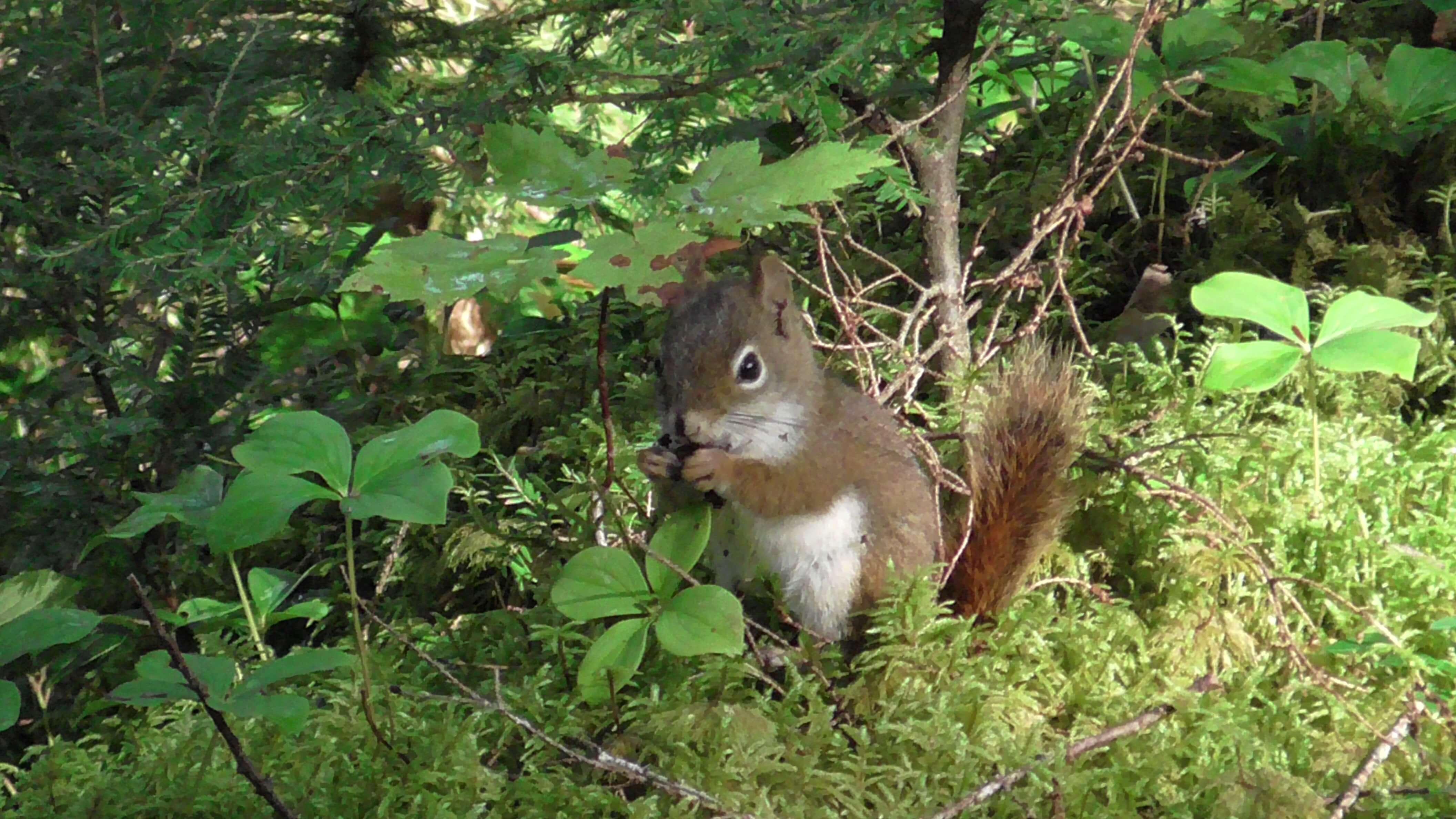 Red Squirrel, Old Growth Hemlock Forest, Kejimkujik National Park, Nova Scotia