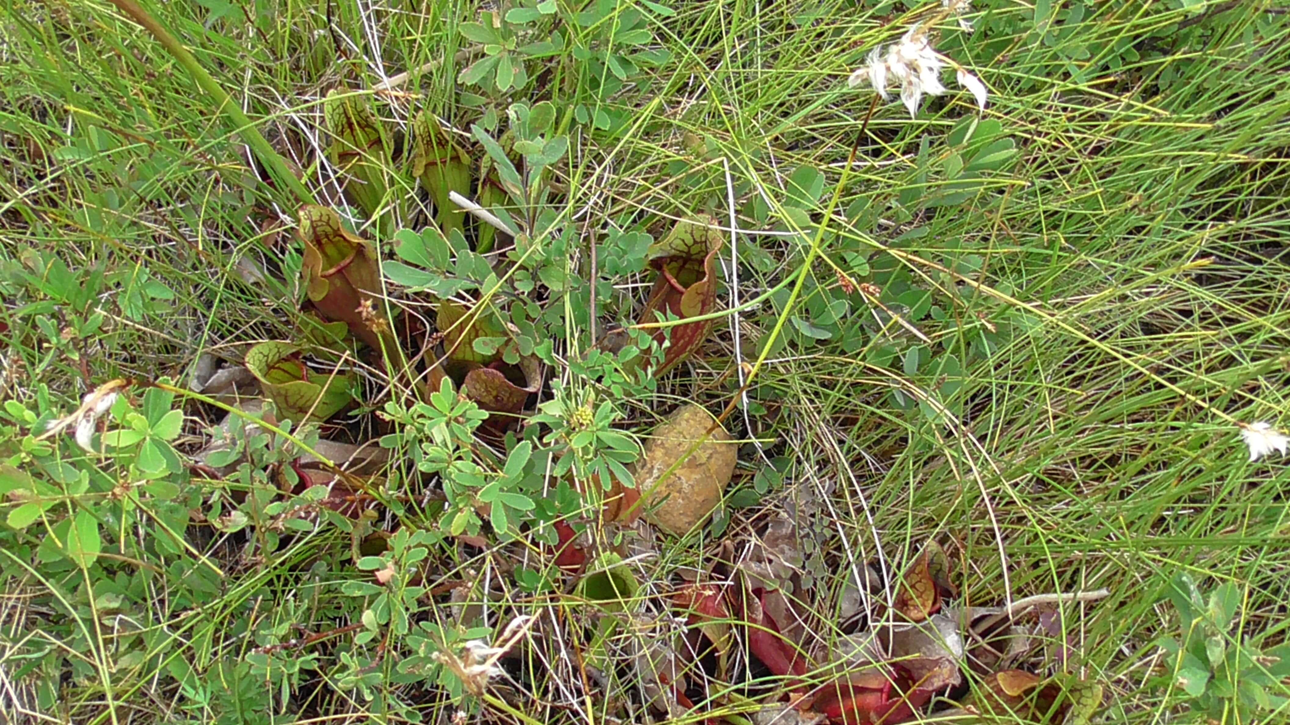 Pitcher Plant, Tablelands, Gros Morne National Park