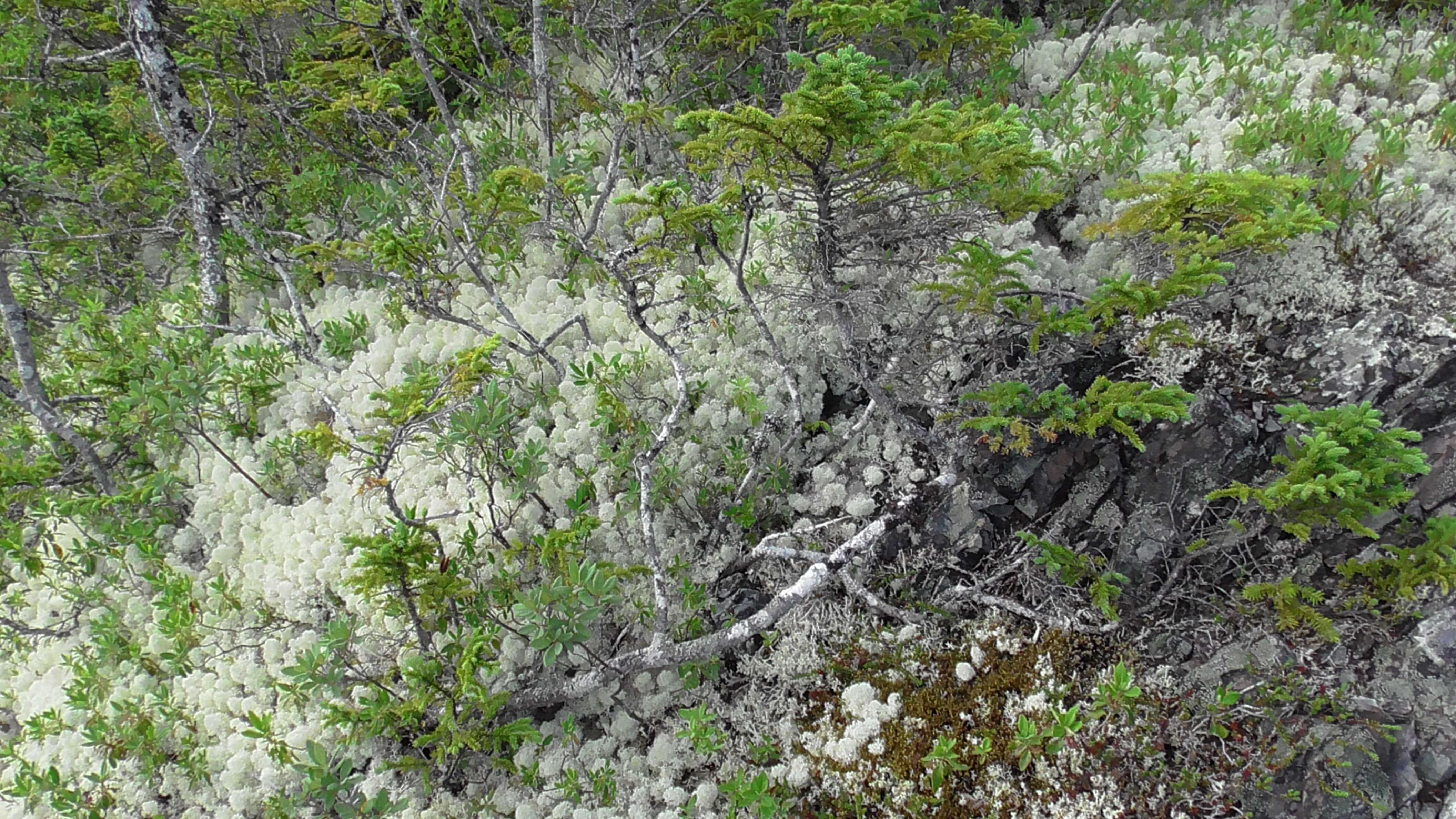 Caribou Moss, Terra Nova National Park, Newfoundland