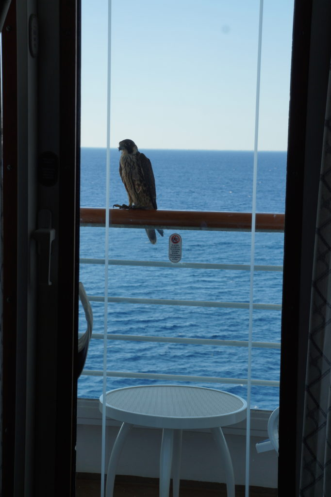 Hawk on balcony of cruise ship
