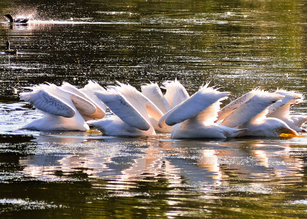Pelican Water Ballet - Sue Hodgson