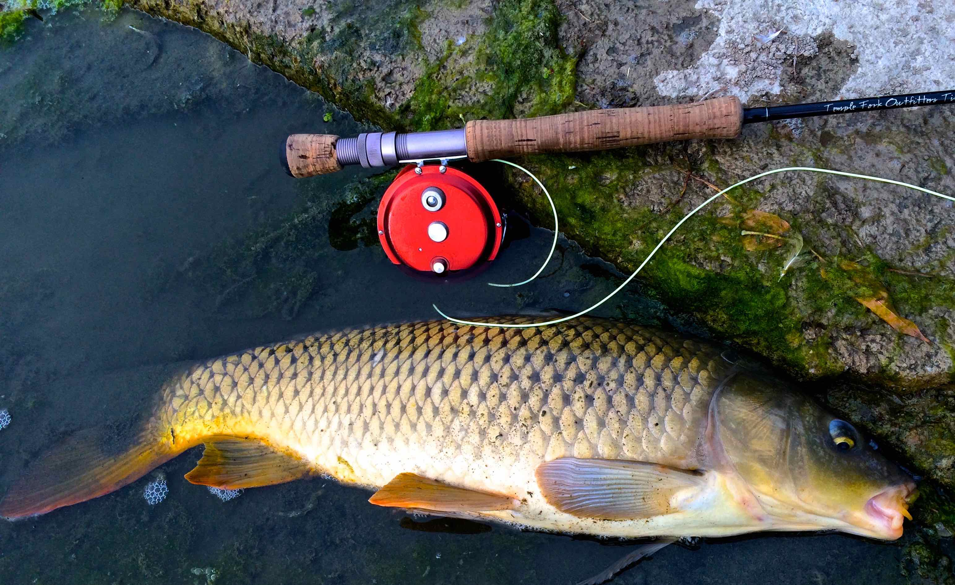 Carp on the Fly Rod Thames River