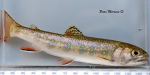 Brook Trout Par