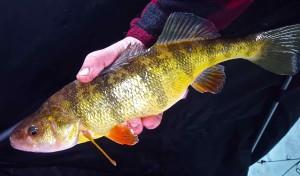 Guelph Lake Ice Fishing Yellow Perch CCCC