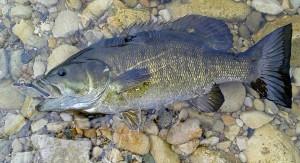 Lake Huron Smallmouth Bass AA