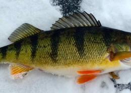 Perch Guelph Lake Ice Fishing A