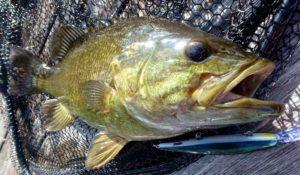 Smallmouth Bass on Dock