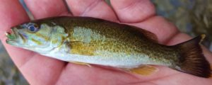 Upper Grand River Baby Smallmouth Bass AAA